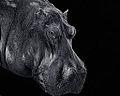 Hippo in B&W (11888291825).jpg
