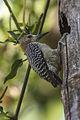 Hoffman's Woodpecker - Zamora Estate - Costa Rica MG 5754 (26652431396).jpg