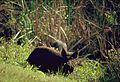 Hog at Merrit Island (9786386651).jpg
