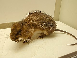 Armored rat A species of mammals belonging to the spiny rat family of rodents