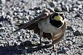 Horned Lark - Flickr - GregTheBusker.jpg