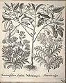 Hortus Eystettensis, 1640 (BHL 45339 226) - Classis Aestiva 74.jpg