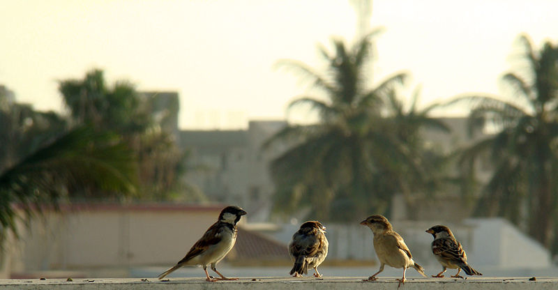 File:House Sparrows in Pakistan.jpg