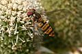Hoverfly Feeding On Nectar On Plant In Garden. Hampshire UK.jpg