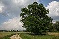 ID 673 Quercus bei Petzendorf.jpg