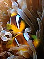 IMG 0518 Pair of Anemonefish (3975875951).jpg