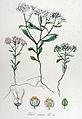 Iberis amara — Flora Batava — Volume v14.jpg