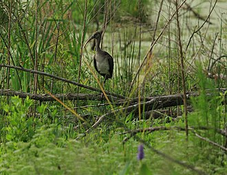 Harris Neck National Wildlife Refuge - A juvenile white ibis in the Harris Neck National Wildlife Refuge