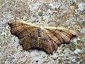 Idaea emarginata - Small scallop - Малая пяденица выемчатая (39163971980).jpg
