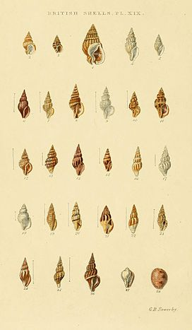 Illustrated Index of British Shells Plate 19.jpg