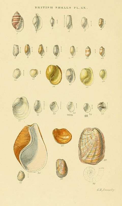 Illustrated Index of British Shells Plate 20.jpg