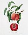 Illustration from Pomona Italiana Giorgio Gallesio by rawpixel00012.jpg
