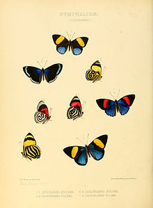 Illustrations of new species of exotic butterflies Catagramma I.jpg