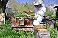 Imker bei der Kontrolle und Säuberung eines Bienstocks.JPG