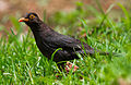 Indian Blackbird by N. A. Naseer.jpg