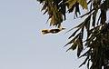 Indian Golden Oriole, Delhi.jpg
