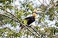 Indian Hornbill-5.jpg