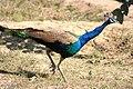 Indian Peacock I IMG 8982.jpg