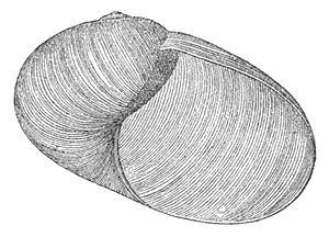 Aperture (mollusc) - Image: Indrella ampulla shell