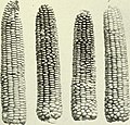 Inheritance in maize (1911) (14586984590).jpg