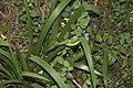 Iris foetidissima-4462.jpg