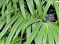 Iris wattii - Kunming Botanical Garden - DSC03008.JPG