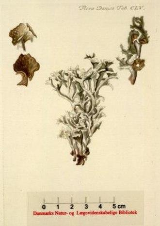 Iceland moss - Image: Islandslav Flora Danica