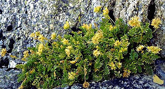 Castle Crags Wilderness - The ivesia plant. Note the granite ledge in background.