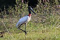 Jabiru mycteria Crooked Tree 03.JPG