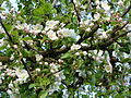Jabloň s květy.JPG