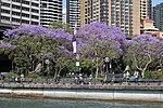 Jacaranda Trees (30064476693).jpg