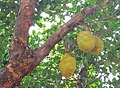Jackfruits hanging from a tree.jpg