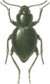 Jacobs74 scythis constricta.png