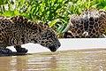 Jaguars (Panthera onca) young males drinking ... (48698350152).jpg