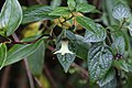 Jaltomata viridiflora (Solanaceae) (45266817014).jpg