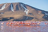 James's Flamingoes in Laguna Colorada, Bolivia.jpg