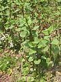 Japanse duizendknoop jonge scheuten (Fallopia japonica).jpg