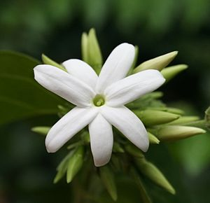English: Jasmine Flower () മലയാളം: മുല്ലപ്പൂവ്