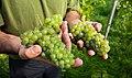Javier shows part of the grape harvest in his Lysekil vineyard 2.jpg