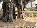 Jerusalem, Gethsemane Garden tree bark.JPG