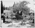 Jerusalem (El-Kouds). Old olive tree in Garden of Gethsemane LOC matpc.06704.tif