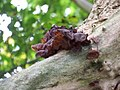 Jew's Ear Fungus (Hirneola auricula-judae) - geograph.org.uk - 591256.jpg