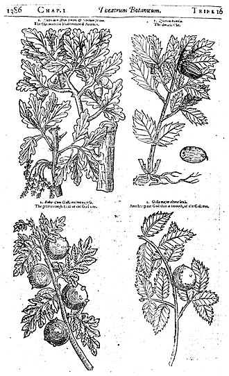 John Parkinson (botanist) - Illustrations of parts of an oak tree from page 1386 of Theatrum Botanicum (1640).