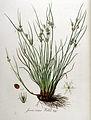 Juncus tenuis — Flora Batava — Volume v9.jpg