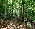 Jungle understorey ... (25744010228).jpg