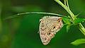 Junonia almana-Kadavoor-2015-08-22-002.jpg