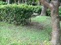 File:Juvenile Malayan night heron calling.webm