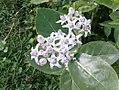 K.Pudur Village Crown flower plants.jpg