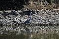 KDM180715e Grey Heron.jpg