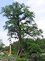 Kacerenský dub, 2007.jpg